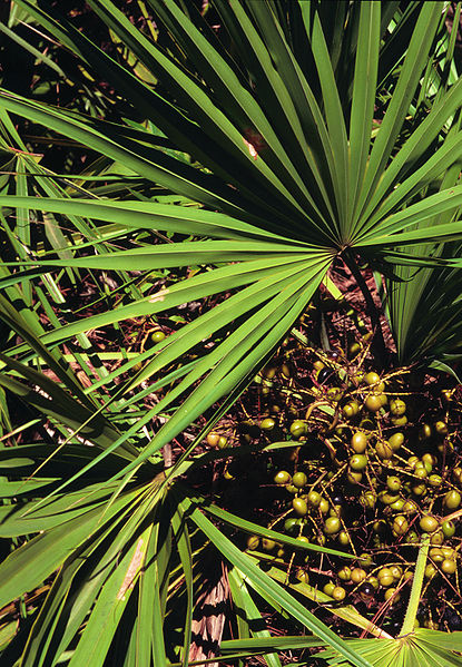 Saw Palmetto photographed by Ted Bodner, Southern Weed Science Society