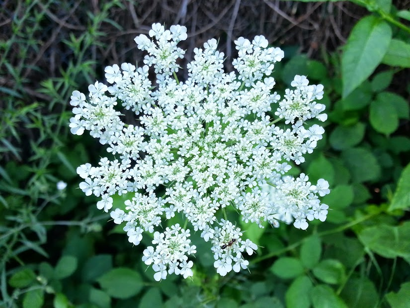 Queen Anne's Lace or Wild Carrot (Daucus carota)