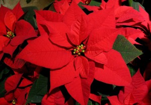 poinsettia bracts and flowers