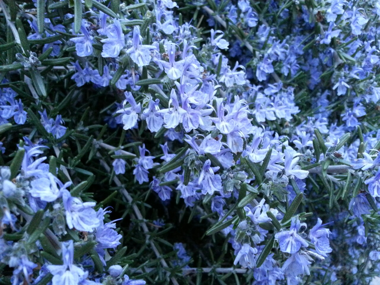 Virgins and Whores: Rosemary's Herbal History ⋆ Sarah Sexy Plants