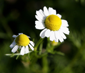 Chamomile by Fir0002/Flagstaffotos